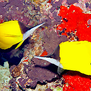 Longnose Butterflyfish inhabit reefs. Picture taken Fiji.