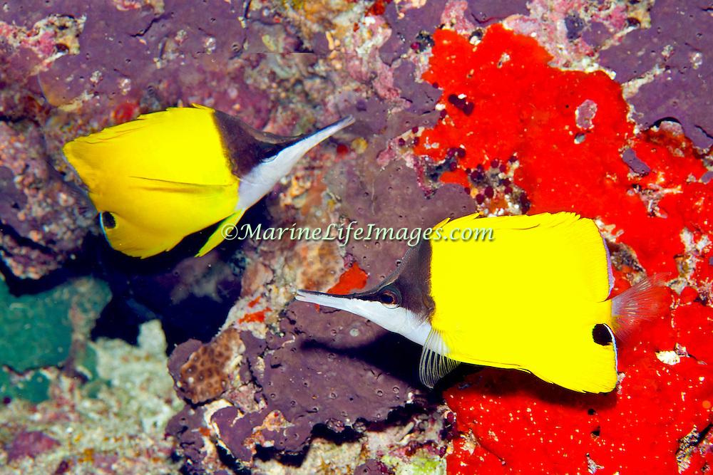 Longnose Butterflyfish inhabit reefs. Picture taken Fiji.