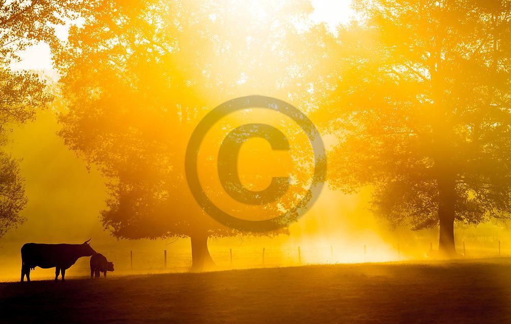 10/10/18 - CREVANT LAVEINE - PUY DE DOME - FRANCE - Elevage de bovins allaitants de race Limousine - Photo Jerome CHABANNE