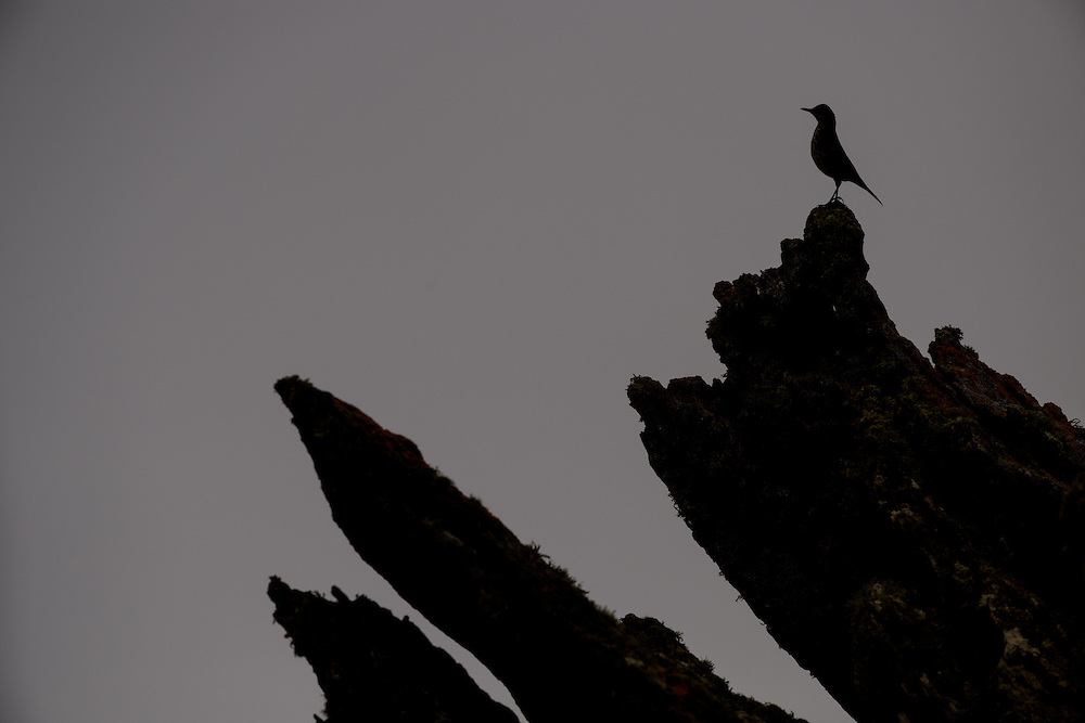 Rock pipit, Islay, Scotland