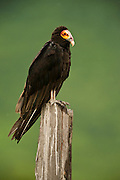 Greater Yellow-headed Vulture (Cathartes melambrotus) <br /> Savannah<br /> Rupununi<br /> GUYANA. South America<br /> RANGE: South America