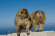 Barbary Macaques or Barbary Apes (Macaca sylvanus) Grooming<br /> GIBRALTAR, UNITED KINGDOM<br /> Only monkey in Europe. True monkeys not apes and the only monkey without a tail. They are arboreal and terrestrial.<br /> IUCN: ENDANGERED SPECIES
