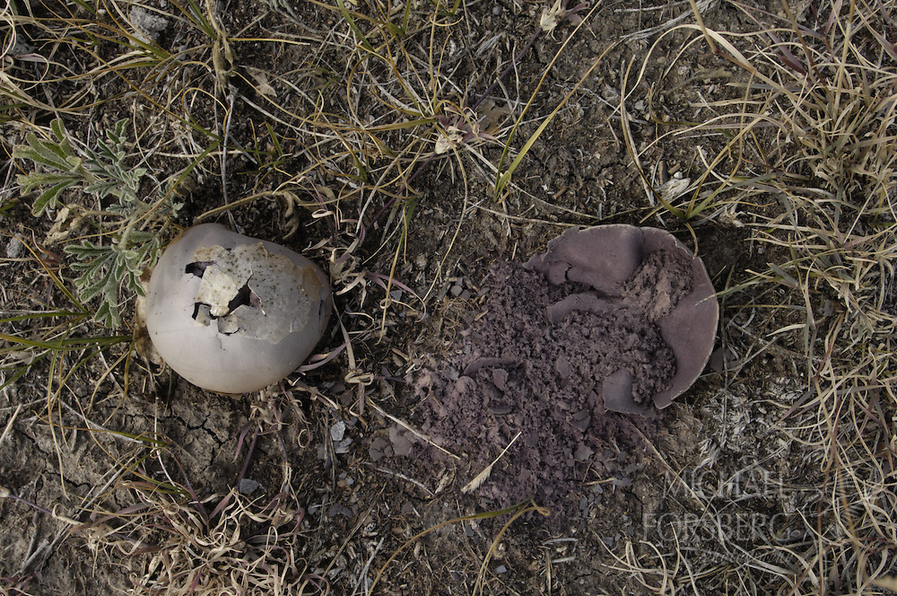 Buffalo Gap National Grassland, South Dakota..Puffball mushroom pod with spores. In this case, plant dispersal of seeds are sent forth when the pods are stepped on by grazers, then carried by the ever present wind, a strategy perfectly suited for the Great Plains