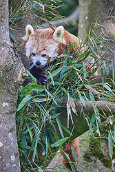 Red Panda<br />