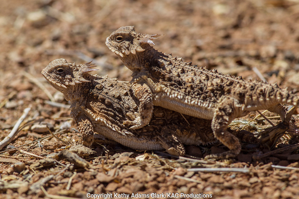 Regal horned lizard, Phrynosoma solare, mating, southern Arizona.