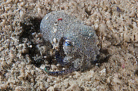 Bobtail squids are covered in a sticky coating.  They flip particles of sand over their bodies which stick to their bodies and camouflage the animal against the sand.