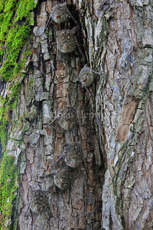 Long-nosed Bats (Rhynchonycteris naso) camouflaged on tree trunk. Tropical dry forest, Palo Verde National Park, Guanacaste, Costa Rica. <br />