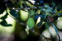 fejoa photos for barton stock imagery coromandel photographer felicity jean photography