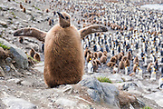 A King Penguin (Aptenodytes patagonicus) chick, St Andrews Bay, South Georgia Island, South Atlantic Ocean