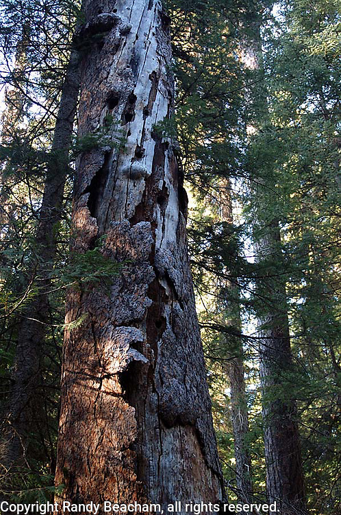 Larch snag in old-growth forest. Yaak Valley in the Kootenai National Forest, Purcell Mountains, northwest Montana