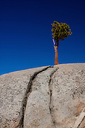 California, Yosemite, Fissures in granite give root holds to trees. PLEASE CONTACT US FOR DIGITAL DOWNLOAD AND PRICING.