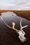 CANADA, Nunavut.Caribou (Rangifer tarandus) skull by a tundra pond
