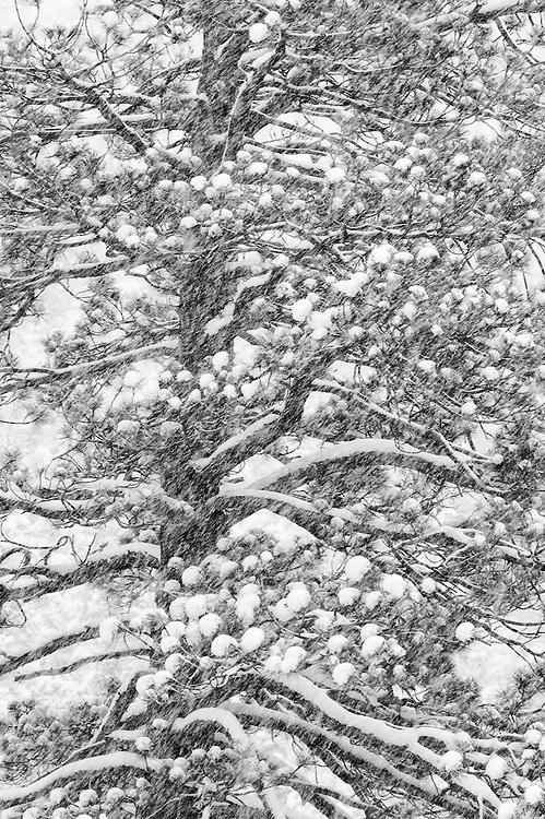 Ponderosa Pine tree in snow storm; Big Bear Lake, San Bernardino Mountains, California.