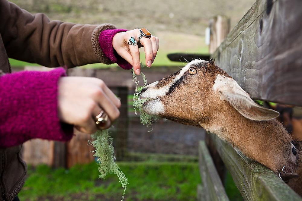 A young woman feeds an eager goat lichen through a fence at Slide Ranch, a non-profit teaching farm in the Golden Gate National Recreation Area near Muir Beach, California.