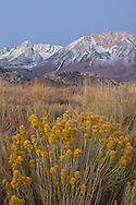Rabbit bush adorns a mountain meadow as alpenglow touches the rim of the eastern Sierra, Bishop, CA
