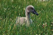 DEU, Germany, young mute swan (lat. Cygnus olor)....DEU, Deutschland, junger Hoeckerschwan (lat. Cygnus olor)........