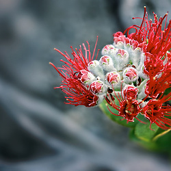 A variety of flowers, trees and shrubs, inlcuding this Ohia Lehua, manage to blossom out of lava on the Kilauea Iki Trail, at Hawaii Volcanoes National Park, island of Hawaii.