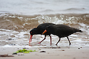 Variable Oystercatcher, Ulva Island, New Zealand