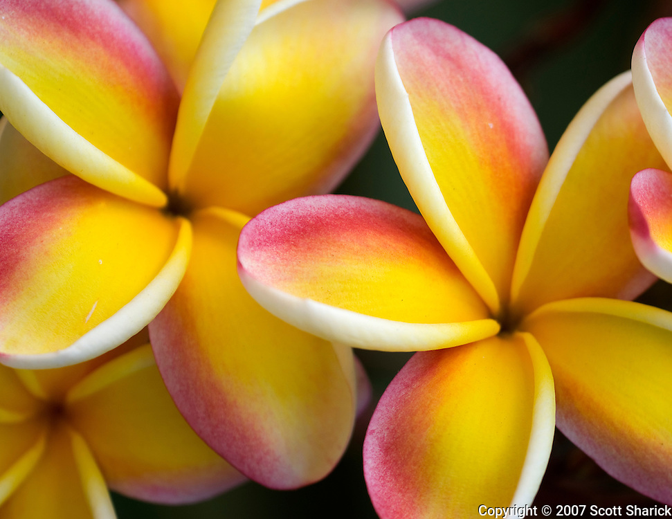 A closeup picture of pink and yellow plumeria.