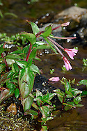 CHICKWEED WILLOWHERB Epilobium alsiniflium (Onograceae) Height to 20cm. Branched and usually upright perennial that is almost hairless. Found damp ground in uplands. FLOWERS are 8-11mm across, pinkish purple and seldom open fully; borne on drooping stalks (Jul-Aug). FRUITS are long, green and erect. LEAVES are ovate, short-stalked and slightly toothed. STATUS-Local in mountains from N Wales northwards.