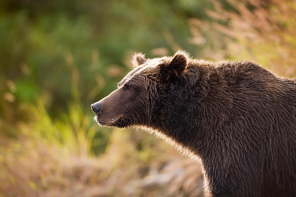 USA, Alaska, Katmai National Park, Kinak Bay, Brown Bear (Ursus arctos) standing in evening sun along river bank in early autumn