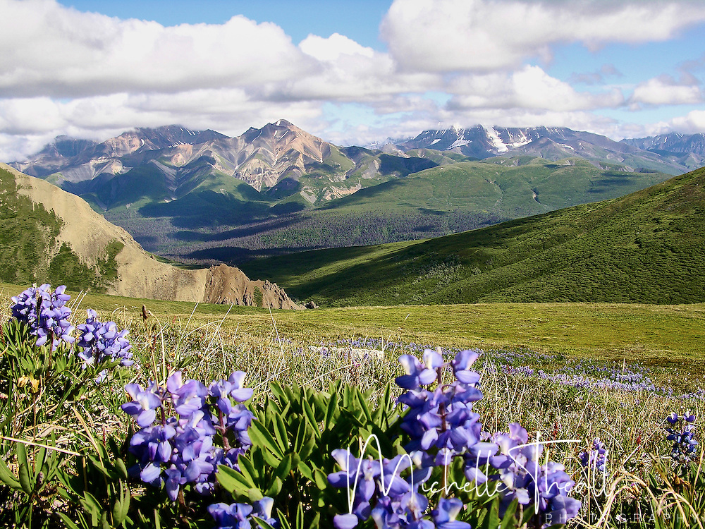 Lupine bloom with University Peak and the Twaharpies Range in the background
