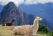 Llamas rest by Machu Picchu ruins of Inca citadel in Peru, South America