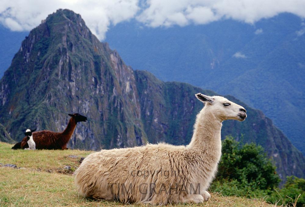 Llamas rest by Machu Picchu ruins of Inca citadel in Peru, South America