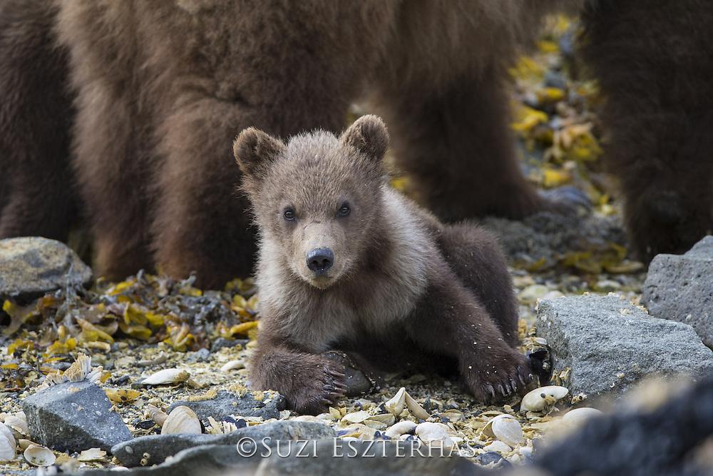 Brown Bear<br /> Ursus arctos <br /> 3-4 month old cub <br /> Katmai National Park, AK