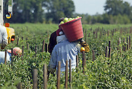 A migrant worker carries a bucket of tomatoes to a waiting truck in a field near Ruskin, Florida.  For each bucket, the worker earns ten cents.