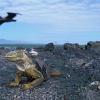 South America, Ecuador, Galapagos Islands, Portrait of Land Iguana (Conolophus subcristatus) standing in vegetation on Plaza Sur Island