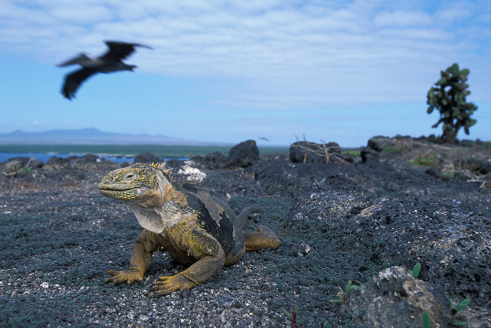 South America, Ecuador, Galapagos Islands, Portrait of Land Iguana (Conolophus subcristatus) standing in vegetation on Plaza Sur Island