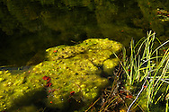 Aquatic plants at Donje Bare lake, Zelengora mountain, Sutjeska National Park, Bosnia and Herzegovina.