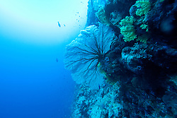 "Gorgonian fan corals grow on ""The Wall"" at Mermaid Reef at the Rowley Shoals."