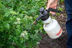 Spraying gooseberry mildew