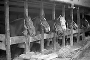 "16/01/1960<br /> 01/16/1960<br /> 16 January 1960<br /> Horses for slaughter being loaded for export to the Netherlands from Dublin. Horses in the cargo hold of the ""Theano""."