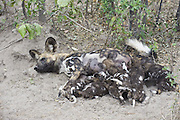 African Wild Dog<br /> Lycaon pictus<br /> Mother suckling 6 week old pups<br /> Northern Botswana, Africa<br /> *Endangered species