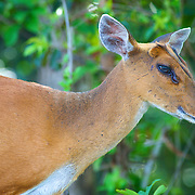 Female Red (or common) Muntjac Deer, Muntiacus muntjac, in Khao Yai National Park, Thailand.