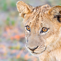 Two year old male lion cub portrait