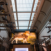 A lion on display in the Large Mammals hall of the Smithsonian National Museum of Natural History in Washington DC.