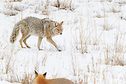 A Coyote and a Red Fox in Yellowstone National Park