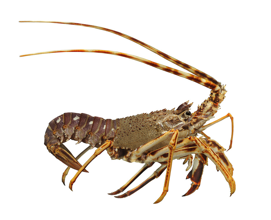 Crawfish - Palinurus elaphas