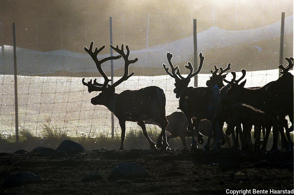 Bukk i gjerdet, Høkla. Reindrift i Nord-Trøndelag. Reindeer herding in Mid-Norway.