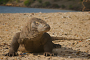 Septic saliva drips from a wild Komodo dragon's  mouth as it prowls the beach in remote Komodo National Park in Indonesia. The park draws adventurous travelers hoping to see the carnivorous Komodo dragon (Varanus komodoensis), the world's largest monitor lizard. Several human fatailities have resulted from komodo dragon attacks in recent years.