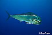mahi mahi, dorado or dolphinfish, Coryphaena hippurus (dc), Venezuela, South America ( Caribbean Sea )