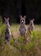 A trio of Eastern Grey Kangaroo stand guard, at Tom Groggins, Mount Kosciuszko National Park