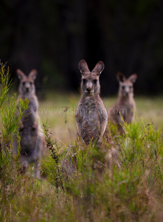 A trio of Eastern Grey Kangaroo stand guard, at Tom Groggins, Mount Kosciuszko National Park