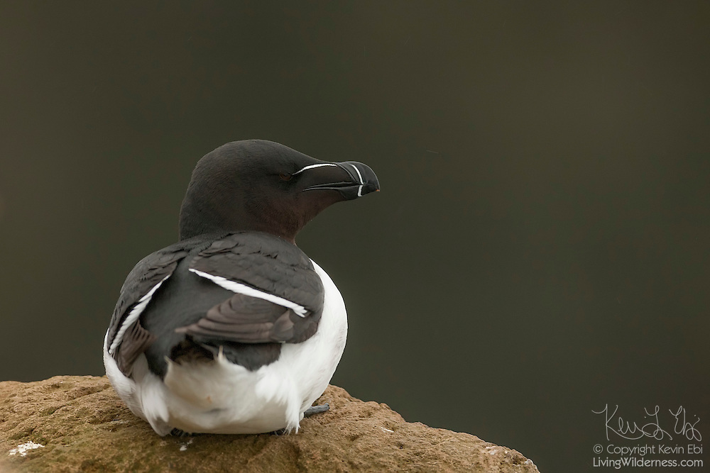 A razorbill (Alca torda) rests on a rocky perch high above the Atlantic Ocean on the Látrabjarg bird cliff in western Iceland. Razorbills are large seabirds, the largest member of the Auk family, and it comes to land only to breed. Látrabjarg is Europe's largest bird cliff: 14 km (8.7 miles) long and up to 440 meters (1444 feet) high. It hosts up to 40 percent of the breeding populations of some species, including razorbills.