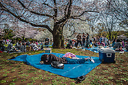 "Midday nap under the blooming ""sakura"" cherry trees in Tokyo's Yoyogi Park.  The actual variety that is most famous in Japan is the Soume-Yoshino variety here and has a pink undertone and is thick with blossoms, but although the Soume-Yoshino candle burns bright, it does not last long, usually only a week to 10 days.  This is sometimes viewed as a metaphor for the beautiful but transience of youth, which passes all too fast.  In the center background are snow white blossoms of another variety of the dozens of varieties of cherry trees that grow in Japan.  Yoyogi Park, Tokyo, Japan."
