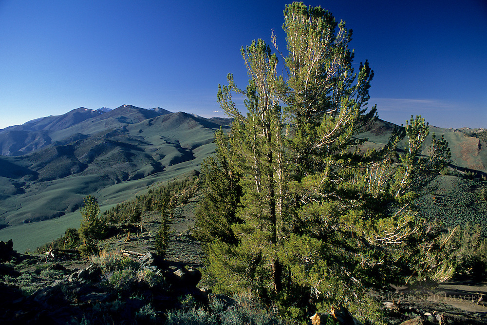 Afternoon light in the Ancient Bristlecone Pine Forest White Mountains, CALIFORNIA